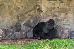 Aufstellung des Gorillas Lizenzfreie Stockfotos