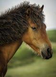 Aufstellung des Ponys Stockfotografie