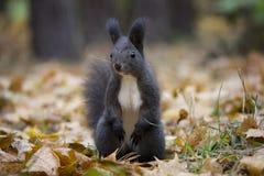 Aufstellung des schwarzen Eichhörnchens im Herbstlaub lizenzfreie stockbilder