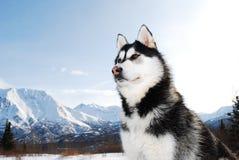 Aufstellung des sibirischen Schlittenhunds Stockbilder