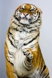 Aufstellung des Tigers Lizenzfreie Stockfotos