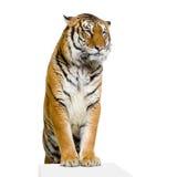 Aufstellung des Tigers Lizenzfreies Stockfoto