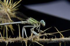 Aufstellung einer blauen Libelle auf einem Zweig Lizenzfreies Stockfoto