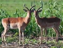 Aufstellung mit zwei männliche Impalas Lizenzfreie Stockfotografie