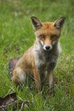 Aufstellung von Fox stockbild