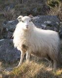 Aufstellung von Schafen Stockbilder