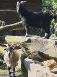 Aufstellung von Ziegen in der Einschließung im Freien Lizenzfreie Stockfotografie