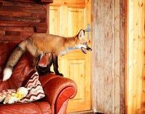 Aufstiege eines roten Fuchses auf dem Sofa Lizenzfreies Stockfoto
