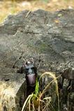 Aufstiege eines seltene Käfers aus einem Stumpf heraus Vertikaler Schuss Stockfotografie