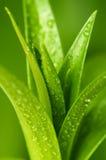 Auftauchende Blätter mit Wassertropfen Stockbild