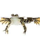 Auftauchender Frosch Stockfotos