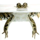 Auftauchender Frosch Stockfoto