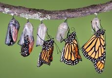 Auftauchender Monarch Stockbild