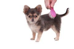 Auftragender Chihuahuawelpe getrennt auf Weiß Lizenzfreie Stockfotos