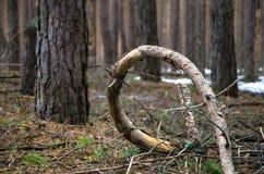 Aufwändig gebogener Baumstumpf lizenzfreies stockfoto