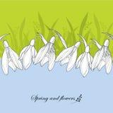 Aufwändige Schneeglöckchen Blumen oder Galanthus im Weiß auf dem Hintergrund mit Gras Lizenzfreie Stockbilder