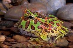 Aufwändiger Frosch im Pool Lizenzfreies Stockfoto