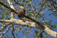 Aufwändiger Hawk Eagle Looking unten von der Stange Lizenzfreie Stockfotos