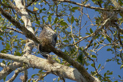Aufwändiger Hawk Eagle Perched auf Niederlassung Stockbilder