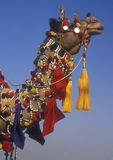 Aufwändiges Kamel Lizenzfreies Stockbild