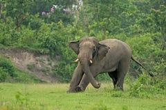 Aufwärmen des indischen Elefanten, Westbengalen, Indien Lizenzfreie Stockfotografie