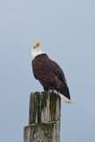 Aufwärts schauendes Eagle Stockfotografie