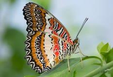 Aufwartung wie ein Schmetterling Lizenzfreie Stockbilder