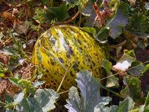 Aufwartung, zum gegessene reife Melone zu sein wer möchten mich essen? Lizenzfreies Stockbild
