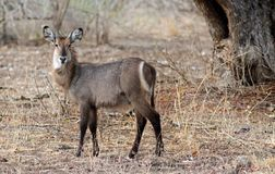 Aufwerfendes Waterbuck bei der Stellung von n der afrikanische Busch, Süd-Luangwa, Sambia Lizenzfreies Stockbild