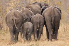 Aufzuchtherde des Elefanten weg gehend int die Bäume Lizenzfreie Stockbilder