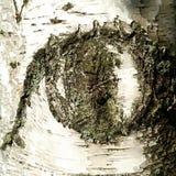 Auge in der Birke Stockbilder
