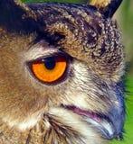 Auge der Eule Stockbild