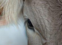 Auge der Kuh Lizenzfreies Stockfoto