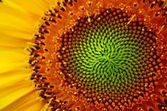 Auge der Sonnenblume lizenzfreies stockfoto