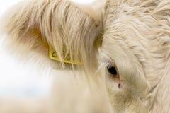 Auge der weißen Kuh Lizenzfreie Stockbilder