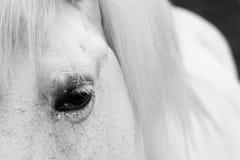 Auge der weißen Pferde - Schwarzweiss-Kunstportrait Stockbilder