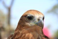 Auge des Adlers Stockfotos