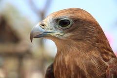 Auge des Adlers Stockfoto