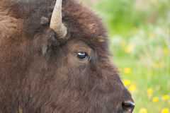 Auge des Büffels in Yellowstone Nationalpark lizenzfreie stockfotografie