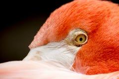 Auge des Flamingos Lizenzfreies Stockbild