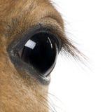 Auge des Fohlens, vor weißem Hintergrund Stockbild