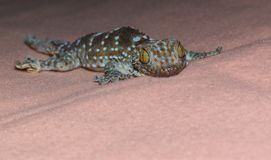 Auge des Geckos stockfotografie