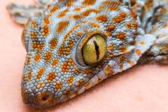 Auge des Geckos stockbilder