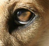Auge des Hundes Stockfoto