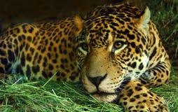 Auge des Jaguars Lizenzfreie Stockfotos