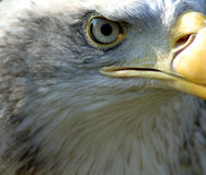 Auge des kahlen Adlers lizenzfreie stockfotografie