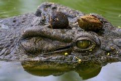 Auge des Krokodils Stockfotos