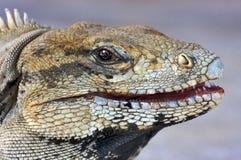 Auge des Leguans Lizenzfreies Stockbild