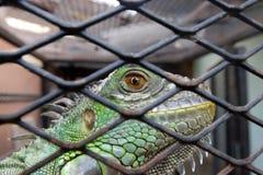Auge des Leguans oder des grünen Leguans Stockbilder