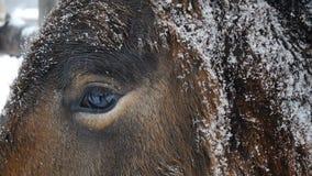 Auge des Pferds Abschluss oben stock footage